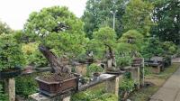 जापान में 400 साल पुराने दुर्लभ बोनसाई पेड़ चोरी