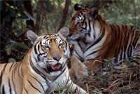 खतरे में बंगाल टाइगर का अस्तित्व, जल्द हो सकते हैं विलुप्त