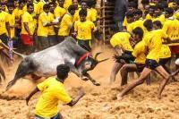 जल्लीकट्टू: सांड़ को काबू करने वाले 40 लोग घायल