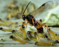 मित्र कीड़ोंं को दुश्मन समझ कर किया जाता है जहर का छिड़काव