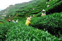 जनवरी में चाय उत्पादन में गिरावट