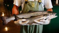 FDA ने सैल्मन मछली (GE) की बिक्री पर लगा बैन हटाया